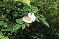Rosa canina (27458634375).jpg