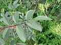 Rosa glauca leaf (01).jpg