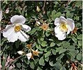 Rosa majalis inflorescence (06).jpg