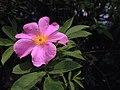 Rosa palustris (14419255575).jpg