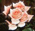 Rosa rosae2 (4845996344).jpg