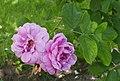 Rosarium Baden Rosa 'Alpenfee' Geschwind 1890 01.jpg