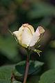 Rose, Hakkoda - Flickr - nekonomania.jpg