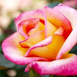 Rose, Sheila's Perfume, ??, ???? ?????, (14525862372)