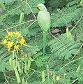Rose-ringed Parakeet (Psittacula krameri).jpg