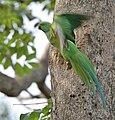 Rose-ringed Parakeet (Psittacula krameri) at nest in Narshapur, AP W IMG 0737.jpg