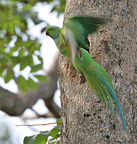 Rose-ringed Parakeet (Psittacula krameri) at nest in Narshapur, AP W IMG 0737.jpg