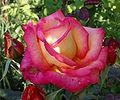 Rose flower-pinkish.jpg