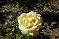 Rose garden @ Parc de Bagatelle @ Paris (28382734095).jpg