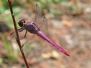 <i>Orthemis</i> genus of insects