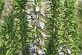 Rosmarinus officinalis Goodwin Creek 0zz.jpg