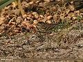 Rosy Pipit (Anthus roseatus) (33050555786).jpg