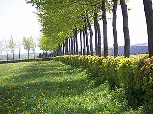 Hedge - A typical clipped European Beech hedge in the Eifel, Germany.