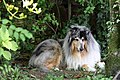 Rough Collie.jpg
