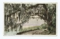 Royal Arch Oak, Florida (NYPL b12647398-69883).tiff