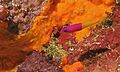 Royal Dottyback (Pictichromis paccagnellae) (6059229328).jpg