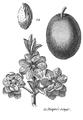 Rozier - Cours d'agriculture, tome 8, pl. 34, diaprée rouge.png