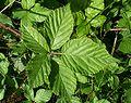 Rubus plicatus leaf kz1.jpg