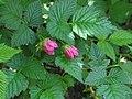 Rubus spectabilis 4 RF.jpg