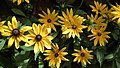 Rudbeckia from Lalbagh flower show Aug 2013 8288.JPG