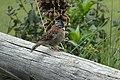 Rufous-collared Sparrow 2015-06-03 (5) (40264836672).jpg