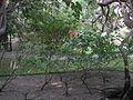Ruizia cordata - Jardin d'Éden.JPG