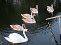 Rusanda607 swans.jpg
