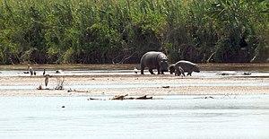 Wildlife of Burundi - Hippopotamus at Rusizi.