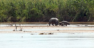 Tourism in Burundi - Image: Rusizi NP hippopotamus