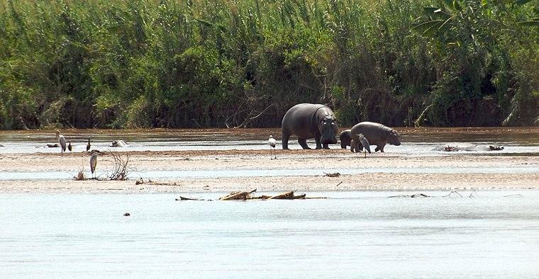 Rusizi NP hippopotamus.jpg