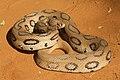 Russels Viper.jpg