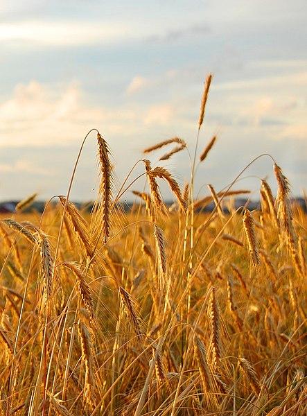 File:Rye field.jpg