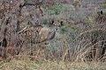 SA05009-Kudu.jpg
