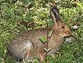 SNOWSHOE HARE (Lepus americanus) (8-20-13) stunner c g, n-w conejos co, co (3) (9592430167).jpg