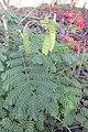 SZ 深圳 Shenzhen 羅湖 Luohu District Wenjin North Road 洪湖公園 Honghu Park Dec-2017 IX1 紅蝴蝶 Caesalpinia pulcherrima 番蝴蝶 洋金鳳 黃蝴蝶 豆科 蘇木屬 red flowers green leaves plant 08.jpg