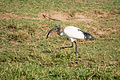 Sacred ibis - Queen Elizabeth National Park, Uganda (3).jpg