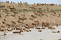 Saiga West Kazakhstan.jpg