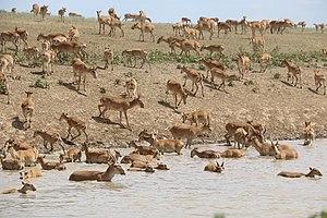 Saiga antelope - Saiga in West Kazakhstan. 2017