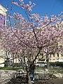 Saint Petersburg. Chinese Garden. Sakura tree2018 01.jpg