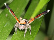 Jumping spider - Wikipedia