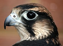 Head of a black and white bird with a large dark eye. Its hooked beak is gray with a black tip and its round nostril has a small lump in the center.