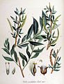 Salix undulata — Flora Batava — Volume v14.jpg