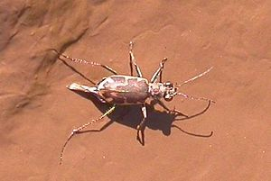 Tiger beetle - The rare Salt Creek tiger beetle, Cicindela nevadica lincolniana