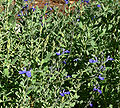 Salvia chamaedryoides 3.jpg