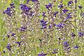Salvia viridis - Zarif Şalba 03.jpg