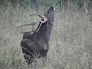 Sambar deer - Sambar stag browsing.