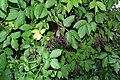 Sambucus nigra (7980627927).jpg