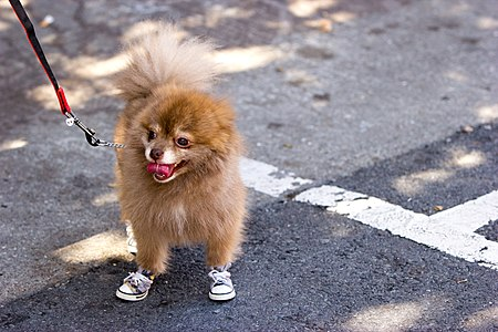 San Francisco Pride Parade 2012 Dog With shoes.jpg