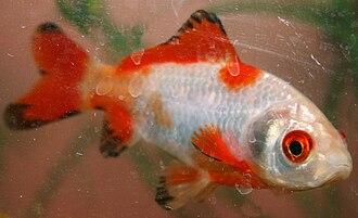Comet (goldfish) - A juvenile Sarasa goldfish.