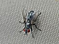 Sarcophaga spec. (Diptera sp.), Arnhem, the Netherlands.jpg